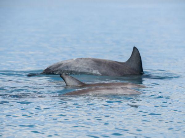 dolphins in matilda bay